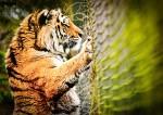 Siberian/Amur Tiger - Panthera tigris altaica